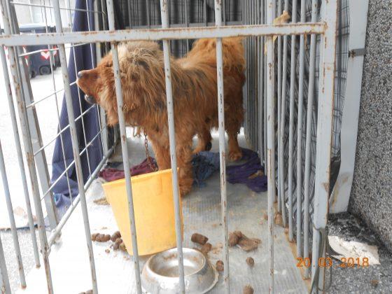 Animali: Guardie Zoofile Enpa sequestrano cane maltrattato a Prato