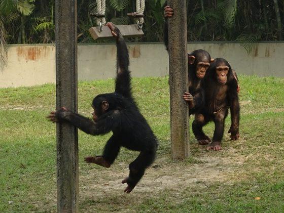 Pisa: da studio su scimpanzé e gorilla emerge che gioco svela qualità relazioni