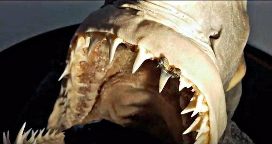 Fossile di squalo del Pliocene ritrovato nella campagna senese