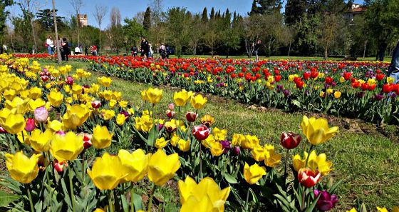 Sbocciano a Scandicci 200.000 tulipani di 70 varietà