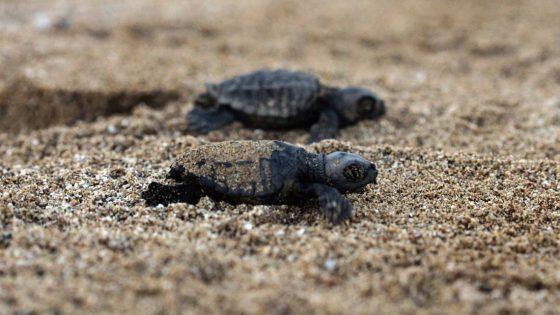 Le tartarughe Caretta nidificano per la seconda volta in Toscana