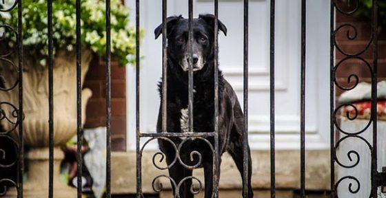 Sesto Fiorentino: cane muore prima che ladro entri in casa, sospetto avvelenamento
