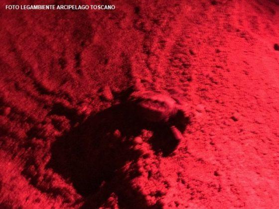 Elba: nate decine di tartarughe marine tra bagnanti e un matrimonio