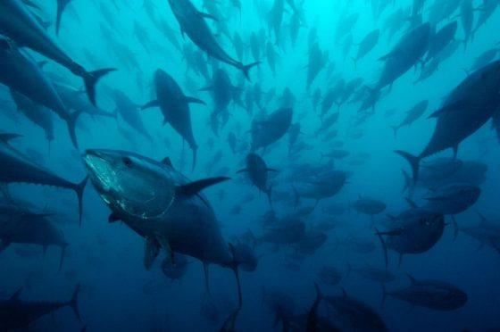 WWF: Scoperto commercio illegale di tonno rosso per 12mln l'anno