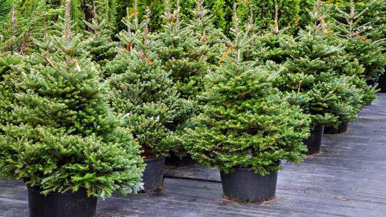 Alia: al via la raccolta degli alberi di Natale in 5 ecocentri