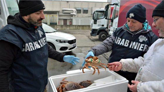 Sequestrati 610 Kg di granchi in furgone a targa olandese