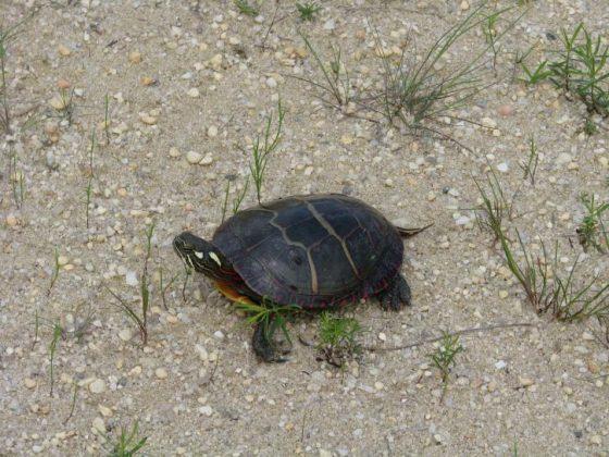 Grosseto, giocano a calcio con una tartaruga