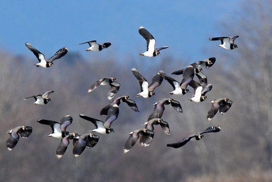 Padule di Fucecchio: birdwatching, al via escursioni primaverili