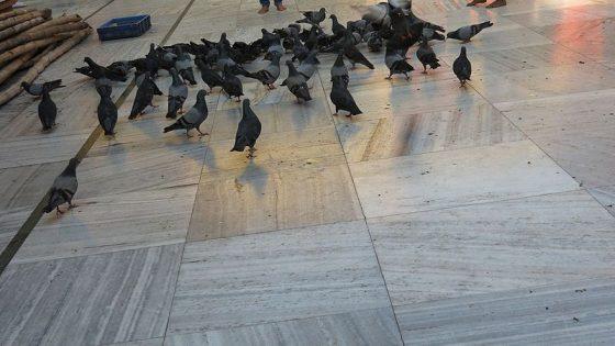 Emergenza piccioni: rapaci e cibo con anticoncezionali