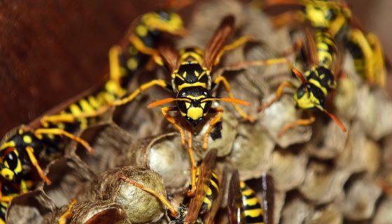 Agricoltura: contro cimice asiatica arriva vespa samurai