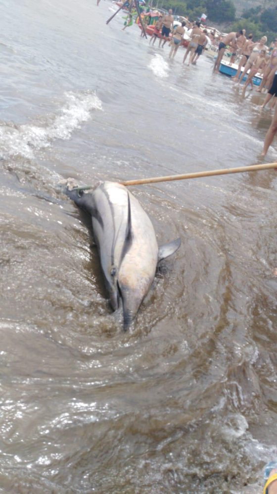 Esemplare di delfino morto trovato in Toscana, è il 36/o da inizio anno