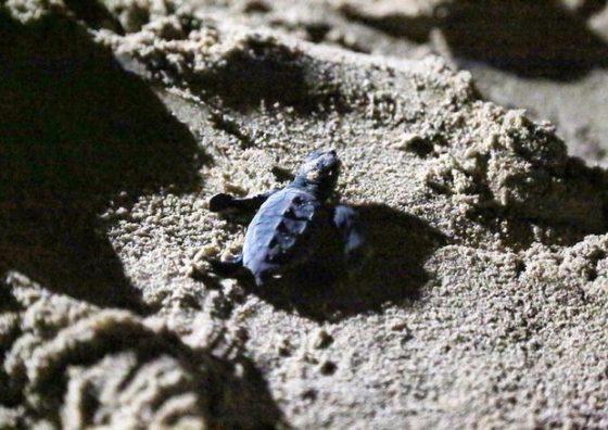 Nate altre 30 tartarughe marine a Rimigliano (Li)