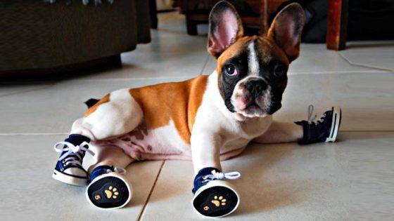 Delegazione cinese consiglia scarpe per i cani contro Covid-19