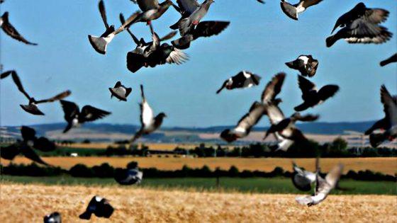 Coldiretti Toscana, allarme piccioni selvatici in campagna