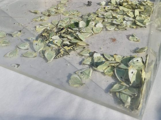 """Farfalle morte al Flower Show Firenze, """"sofferenza animale e danno ecologico, provengono da allevamenti intensivi"""""""