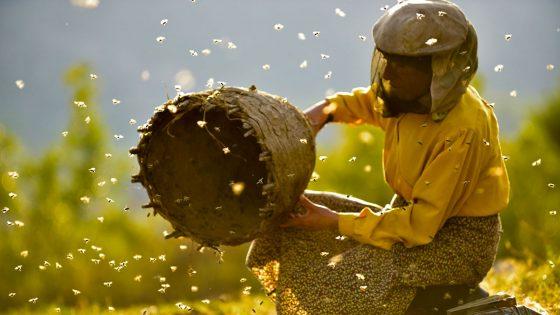 Honeyland il regno delle api. All'Odeon di Firenze