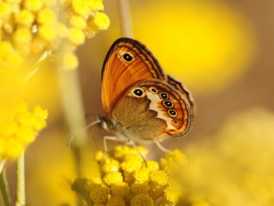 Università di Firenze: l'Italia delle farfalle, mappatura grazie anche cittadinanza
