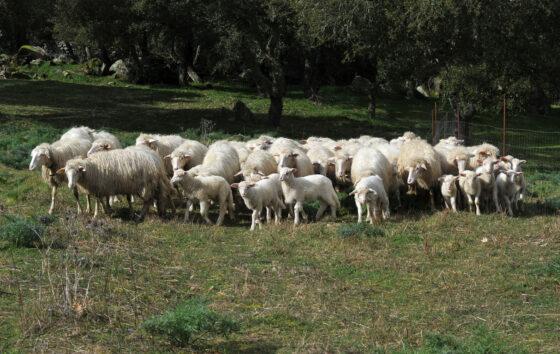 Ristori per allevatori di ovicaprini da latte in Toscana