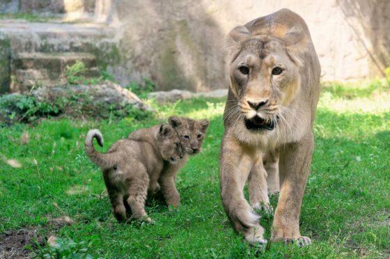 """""""Ho visto un leone"""": a Monteroni (SI) è caccia al felino"""