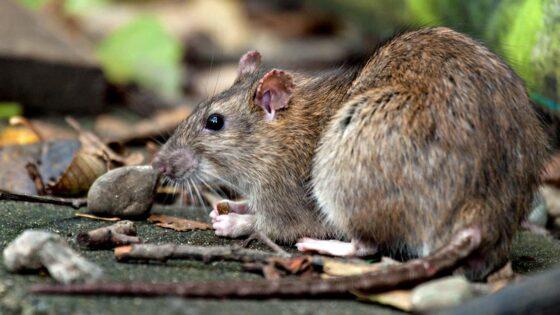 I topi potrebbero diventare serbatoi per le varianti Coronavirus