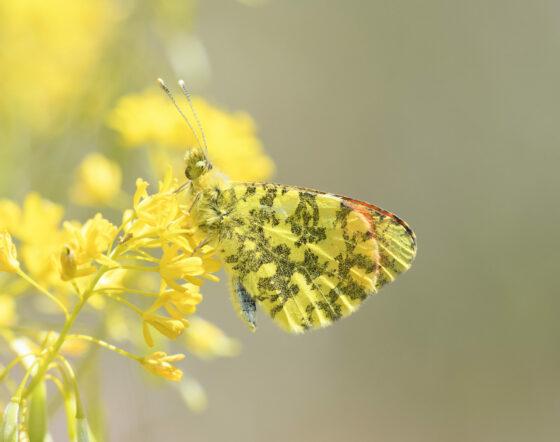 🎧 Mappare le farfalle europee per proteggere la loro sopravvivenza, Giornata della Terra
