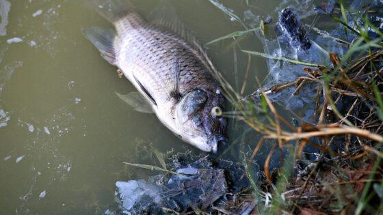 Moria di pesci nella fontana del giardino di Bobolino