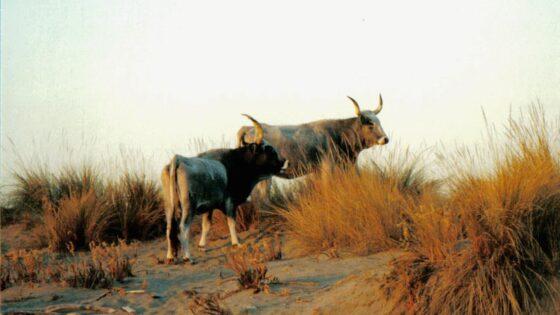 Vacche maremmane tornano a pascolare nel Padule di Scarlino
