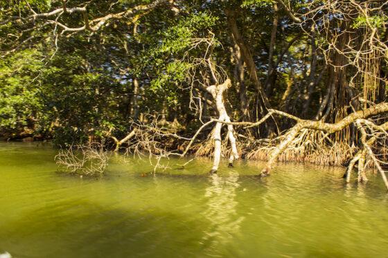 Studio Unifi: foreste di mangrovie minacciate riduzione biodiversità fauna
