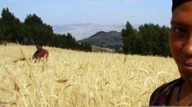 CLIMA. GRANO ETIOPE SALVERA' RACCOLTI EUROPEI